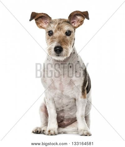 Crossbreed dog sitting and looking at the camera, isolated on white