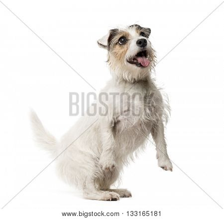 Jack Russell Terrier on his hind legs and looking up, isolated on white