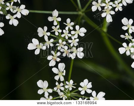 Cow Parsley or Wild Chervil Anthriscus sylvestris flower clusters macro selective focus shallow DOF