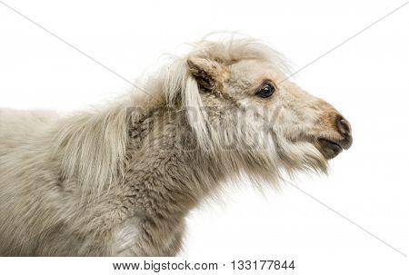Close-up of a Shetland Pony isolated on white