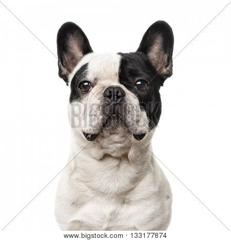 Close-up of a French Bulldog looking at the camera, isolated on white