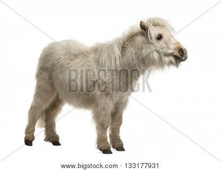 Shetland Pony standing up and isolated on white