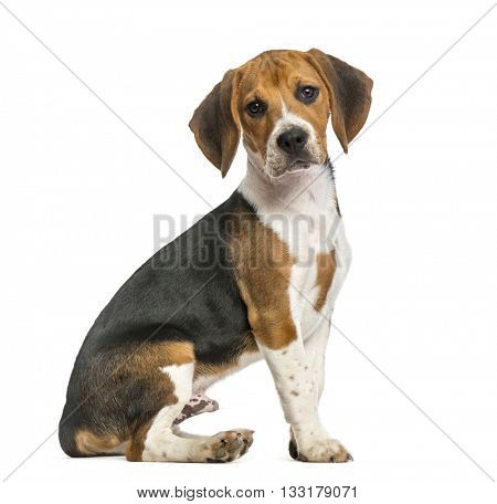 Beagle sitting, isolated on white