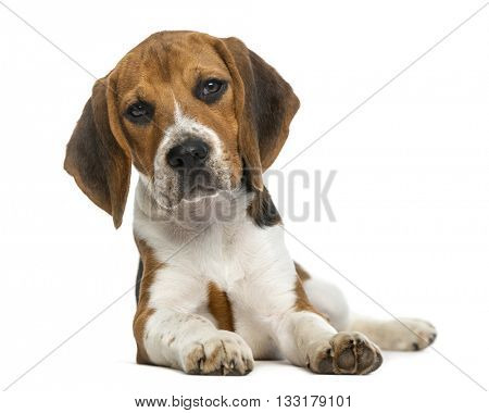 Beagle lying down, isolated on white