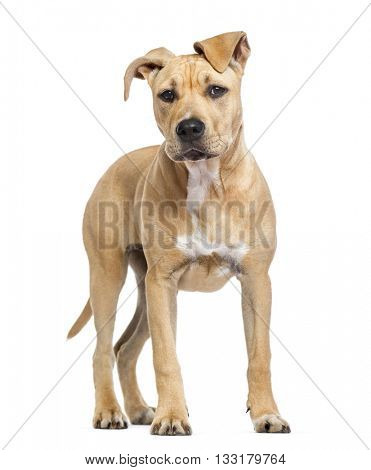 American Staffordshire Terrier puppy standing up, isolated on white
