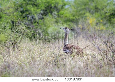 Specie Ardeotis kori,  kori bustard in the bush in South Africa poster