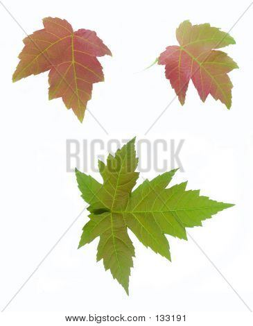 Green And Red Maple Leaves