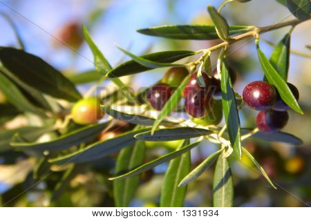 Nice Olives In The Sun