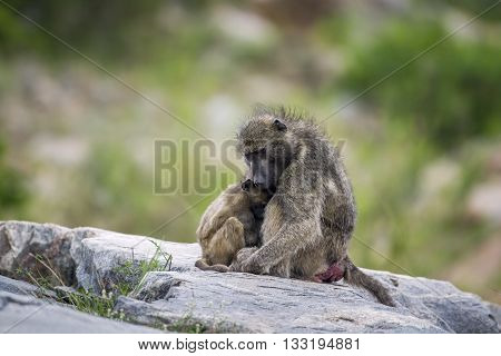 Specie Papio ursinus family of Cercopithecidae, mother baboon and its baby on a rock