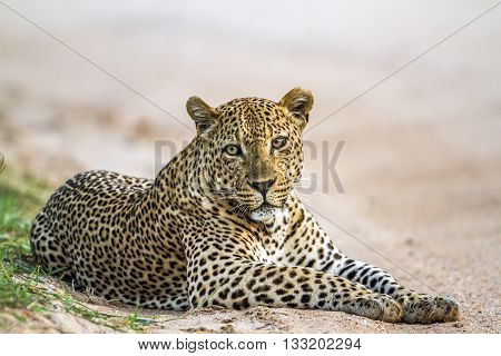 Specie Panthera pardus family of felidae, leopard having a nap in Kruger Park