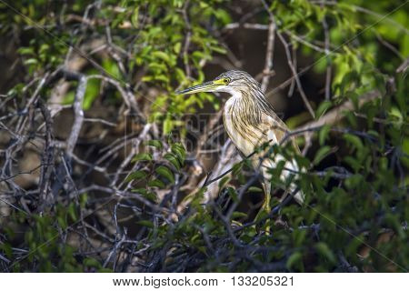 Specie Ardeola ralloides family of ardeidae, squacco heron in the bush, Kruger park