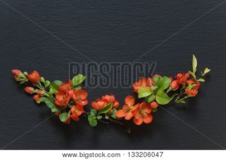 Japanese quince Chaenomeles branches with red flowers covered with water drops lie on a background of black slate; flat lay overhead view