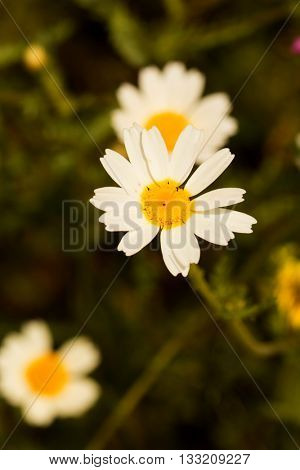 Macro of wild daisies in the field during spring