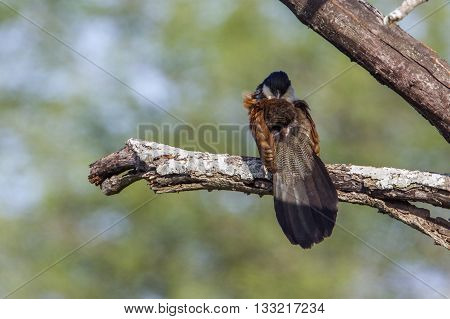 Specie Centropus burchellii family of Cuculidae, Burchell coucal on a branch in Kruger park