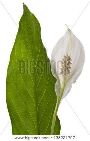 Spathiphyllum flower with leaf, isolated on white background. Commonly known as Spath or peace lilies.