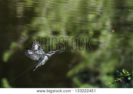 Specie Ceryle rudis family of Alcedinidae, pied kingfisher flying above the river in Kruger Park, South Africa