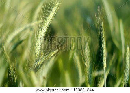 Young green wheat waving in the wind-selective shallow focus to convey motion-bokeh effect