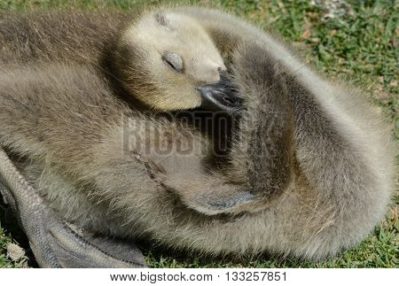 Close up of Canada Goose gosling preening tiny wing with closed eyes while sunbathing in afternoon light