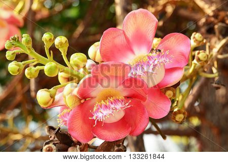 Close Sal flowers blooming beautiful background blur a flower of Buddhist lore.