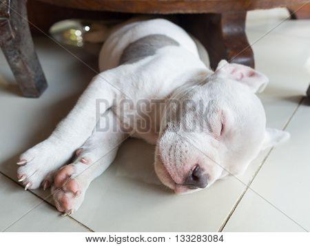 Puppy dog sleeping on tiled ,dog sleeping