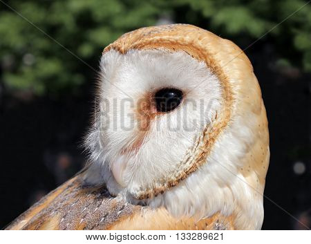 The barn owl is the most widely distributed species of owl and one of the most widespread of all birds. Shallow depth selective focus.