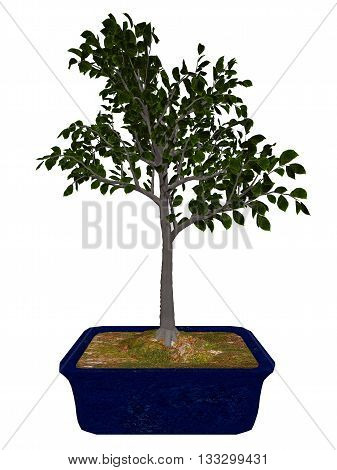 European beech, fagus sylvatica, tree bonsai isolated in white background - 3D render