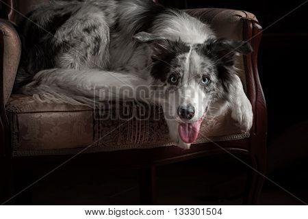 Border collie dog merle color in dark interior studio