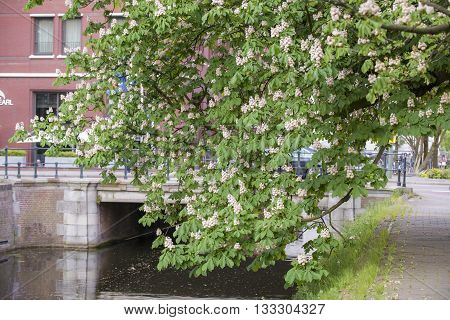 Branch of a Horse Chestnut (Aesculus hippocastanum) in Blossom on the quayside at the Kortenaerkade in the Hague Den Haag the Netherlands