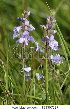 Heath Speedwell - Veronica officinalis Acidic Grassland Flower