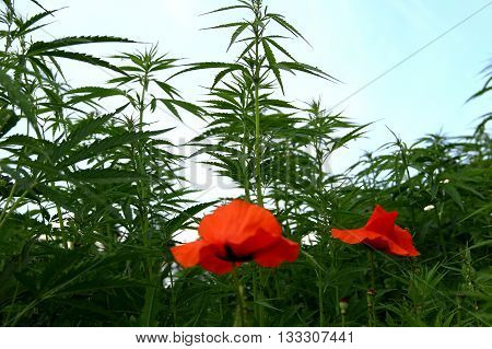 Cannabis inflorescences, opium poppy flowers and seed heads grows together