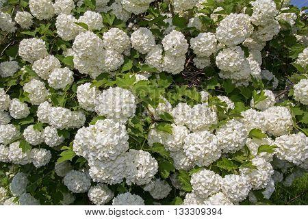 White flower of the snowball viburnum Buldenezh in bloom. poster