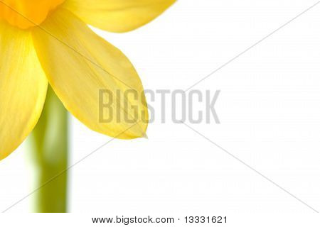 Background With Narcissus