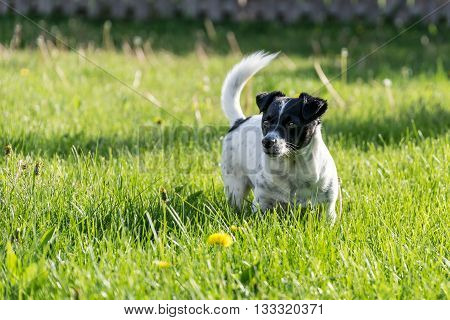 a Jack russell terrier striking a pose.