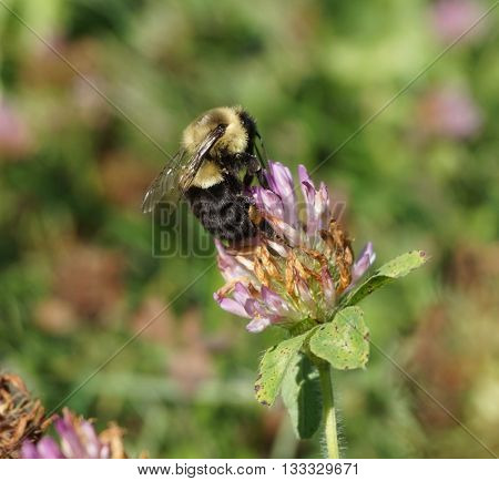 Black and yellow bumble bee clinging to a single clover flower on a windy summer day, beautiful nature insect photo background.