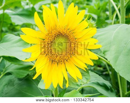 A beuatiful Sun flower plantation in Thailand