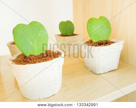 A row of Heart Leaf Hoya or Valentines Hoya in the pot for decoration
