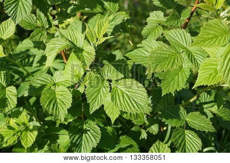 Raspberry (rubus L.) is a deciduous shrub or shrub of the family Rosaceae. It is known more than 120 species of wild raspberry leaves are very carved and health benefits of brewed tea