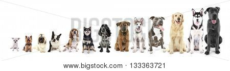 Thirteen sitting dogs in row, from small to large, isolated on white