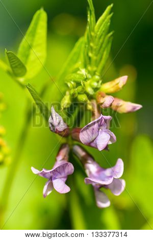 Vicia sepium - Bush vetch is a plant species of the genus Vicia. Occurs in Europe Russia Asia Canada USA and where suitable habitat occurs in Greenland.