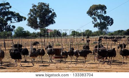 on an ostrich farm in South Africa, behind a fence are male ostriches with a black plumage and white feathers