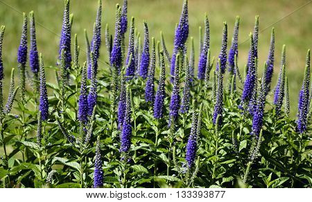 Colorful Blazing Star plant flowers in a garden backgrounf
