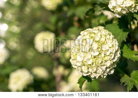 Globular inflorescences decorative Viburnum . Selective focus.