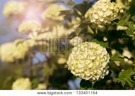 Globular inflorescences decorative Viburnum. Image with a matte toning. Selective focus.