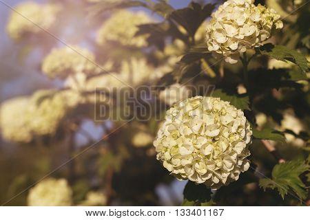 Globular Inflorescences Decorative Viburnum