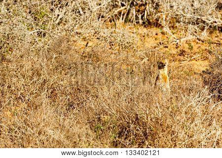 They Did Not See Me - Meerkat - Suricata Suricatta