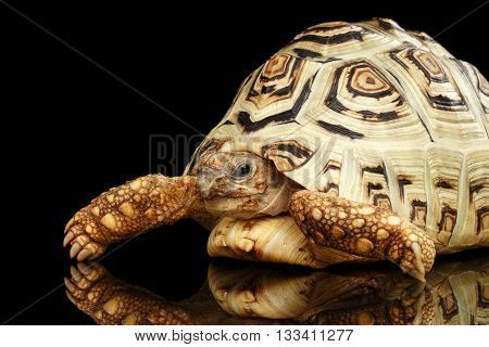 Leopard tortoise albino, Stigmochelys pardalis turtle with white shell on Isolated Black Background
