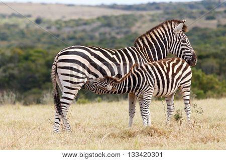 Drinking From Mom - Burchell's Zebra
