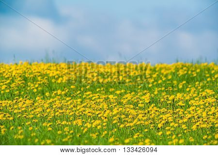 Colorful dandelion field and blue sky in countryside