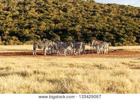 Where Did The Water Go - Burchell's Zebra