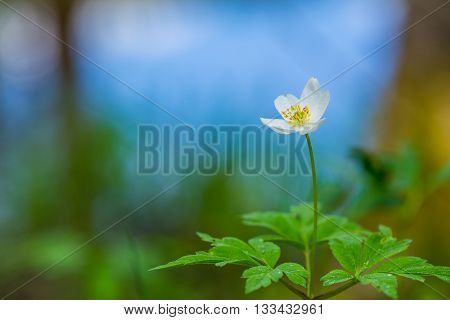 Beautiful wood anemone flower in spring forest